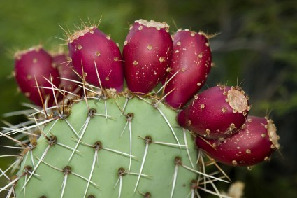 Prickly-pear-fruit